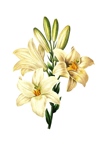 Lilium candidum | Redoute Flower Illustrations High resolution illustration of a Lilium candidum, known as the Madonna Lily, isolated on white background. Engraving by Pierre-Joseph Redoute. Published in Choix Des Plus Belles Fleurs, Paris (1827). water lily stock illustrations