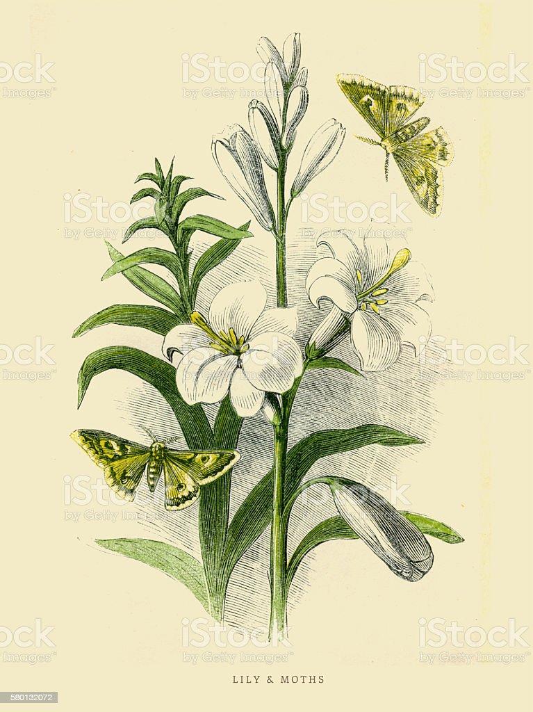 Lily and moths illustration 1851 vector art illustration