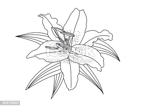 how to draw a simple lily
