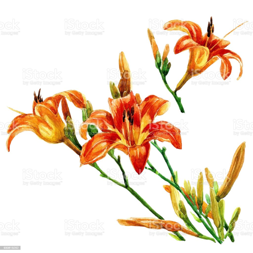 Lily Flowers Are Isolated Watercolor Painted Stock Vector Art More