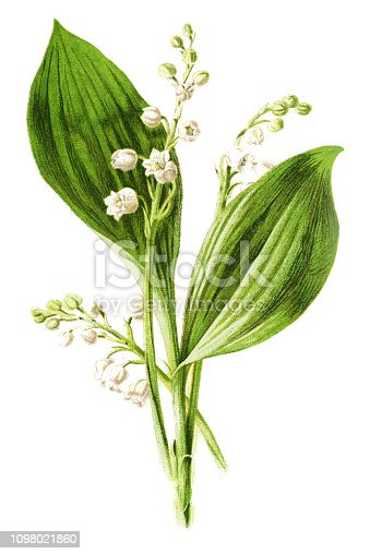 istock lily of the valley 1098021860
