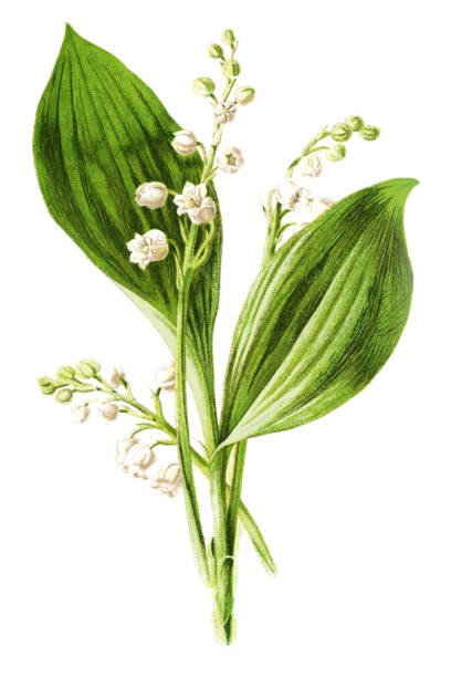 """lily of the valley Antique illustration of a Medicinal and Herbal Plants.  illustration was published in 1893 """"botanika i mineralogia atlas"""" scan by Ivan Burmistrov lily of the valley stock illustrations"""