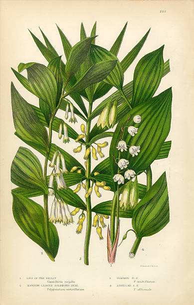 Lily of the Valley, Solomon's Seal, Victorian Botanical Illustration Very Rare, Beautifully Illustrated Antique Engraved Lily of the Valley, Solomon's Seal, Victorian Botanical Illustration, from The Flowering Plants and Ferns of Great Britain, Published in 1846. Copyright has expired on this artwork. Digitally restored. lily of the valley stock illustrations