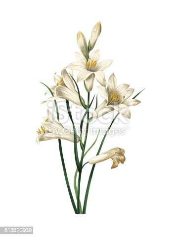 High resolution illustration of a lily, isolated on white background. Engraving by Pierre-Joseph Redoute. Published in Choix Des Plus Belles Fleurs, Paris (1827).