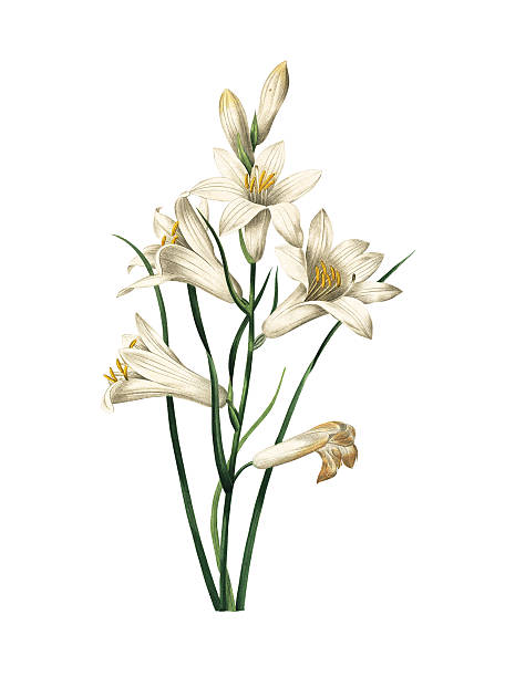Lily   Redoute Flower Illustrations High resolution illustration of a lily, isolated on white background. Engraving by Pierre-Joseph Redoute. Published in Choix Des Plus Belles Fleurs, Paris (1827). lily stock illustrations