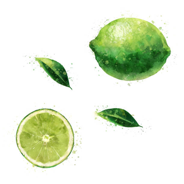 Lime on white background. Watercolor illustration Isolated hand-painted illustration on a white background lime stock illustrations