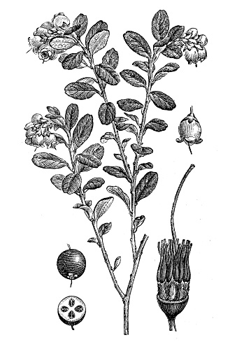 Illustration of a Lingonberry or cowberry (Vaccinium vitis idaea)