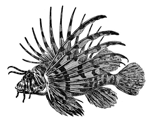 Best Lionfish Illustrations, Royalty-Free Vector Graphics ...