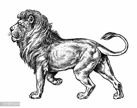 istock Lion 121921224
