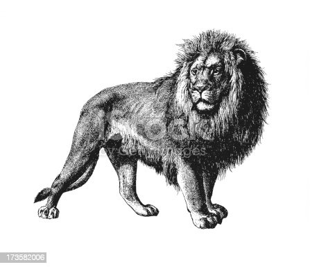 Old engraving of a lion isolated on white surface. Very high XXL resolution after a detailed scan at 600 dpi. Original artwork published in 1868. Photo by N. Staykov (2008).