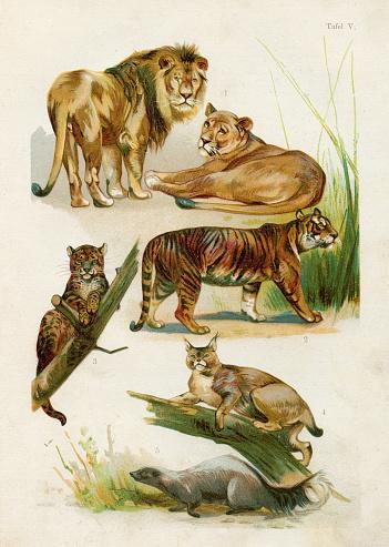 Lion,  Lioness, Tiger, Leopard, Bobcat, Skunk chromolithograph illustration 1891