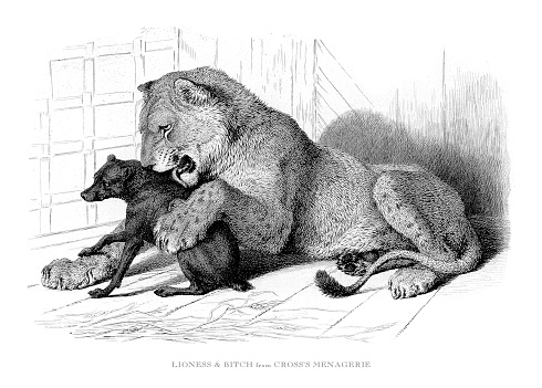 Lioness and female dog playing in captivity Engraved Illustration