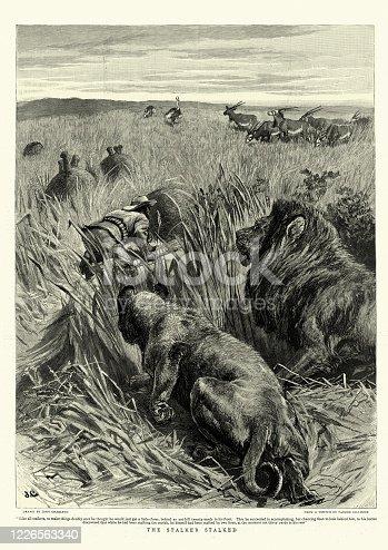 Vintage illustration of The Stalker stalked, Lions stalking a big game hunter on safari, Victorian, 1890s