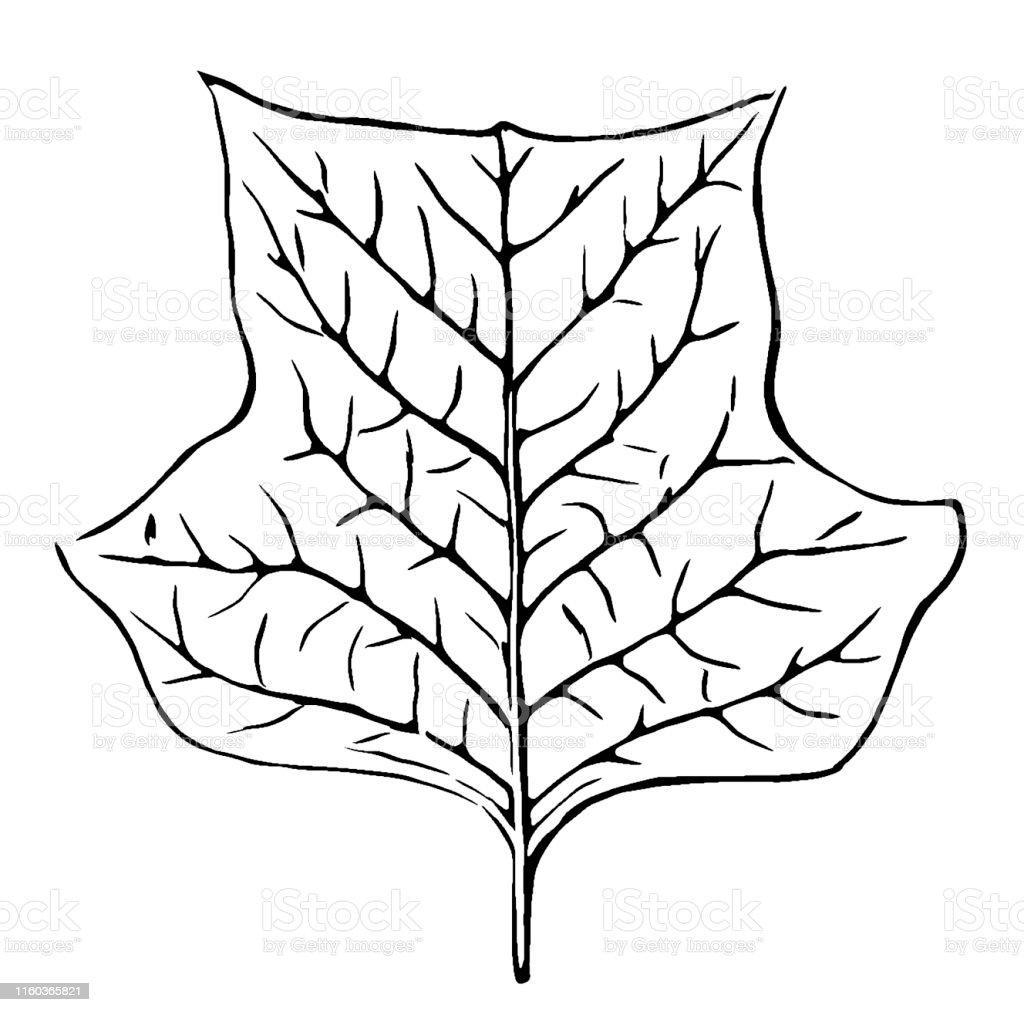 Tulip Poplar Tree Drawing