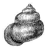 Illustration of a Lister's River Snail (Viviparus Contectus)