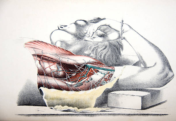 lithograph dissection of a human torso - autopsy stock illustrations, clip art, cartoons, & icons
