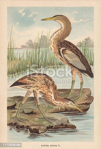 Little bittern (Ixobrychus minutus, or Ardetta minuta). Chromolithograph, published in 1896.