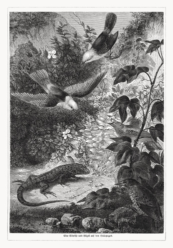 Lizard and birds in Galapagos. wood engraving, published in 1868