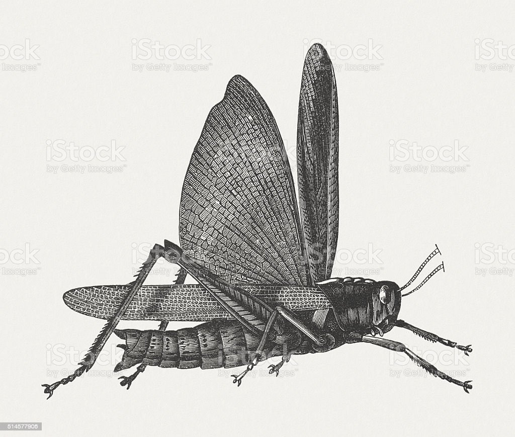 Locust (Acrididae), wood engraving, published in 1880 vector art illustration