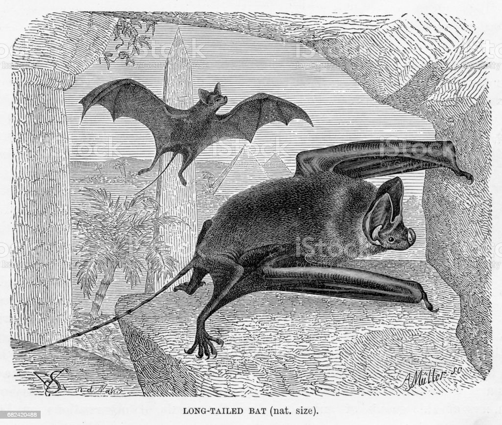 Long tailed bat engraving 1894 royalty-free long tailed bat engraving 1894 stock vector art & more images of animal