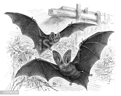 istock Long-eared bat flying illustration 1200083266