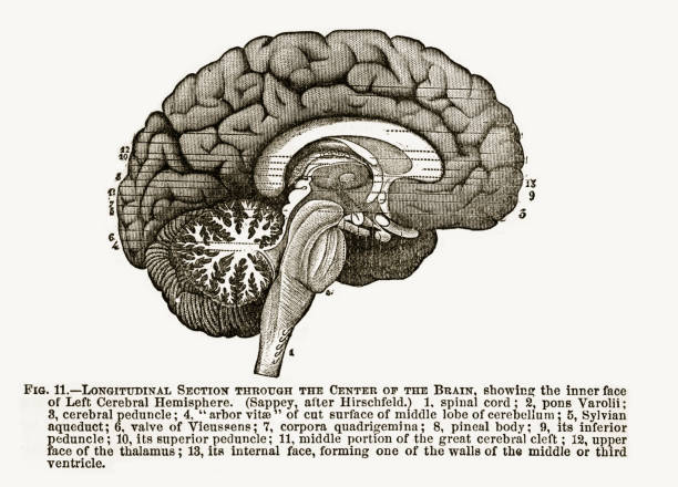 Longitudinal Section Through the Center of the Human Brain Engraved Illustration, 1880 Beautifully Illustrated Antique Engraved Victorian Illustration of Longitudinal Section Through the Center of the Human Brain Engraved Illustration, 1880. Source: The Popular Science Monthly, By E.L. and W.J. Youmans. Published in 1885. Original edition from my own archives. Copyright has expired on this artwork. Digitally restored. temporal lobe stock illustrations