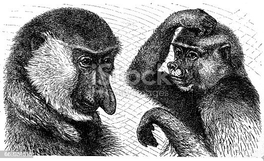 Illustration of a Long-nosed monkey (Nasalis larvatus), male left and female right