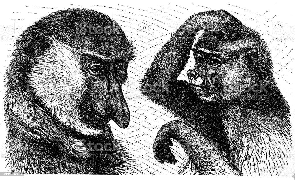 Long-nosed monkey (Nasalis larvatus), male left and female right vector art illustration