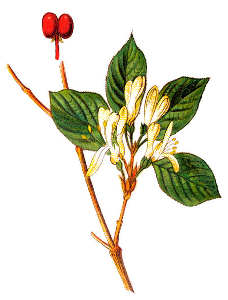 Lonicera xylosteum, commonly known as fly honeysuckle, European fly honeysuckle, dwarf honeysuckle or fly woodbine Illustration of a Lonicera xylosteum, commonly known as fly honeysuckle, European fly honeysuckle, dwarf honeysuckle or fly woodbine honeysuckle stock illustrations