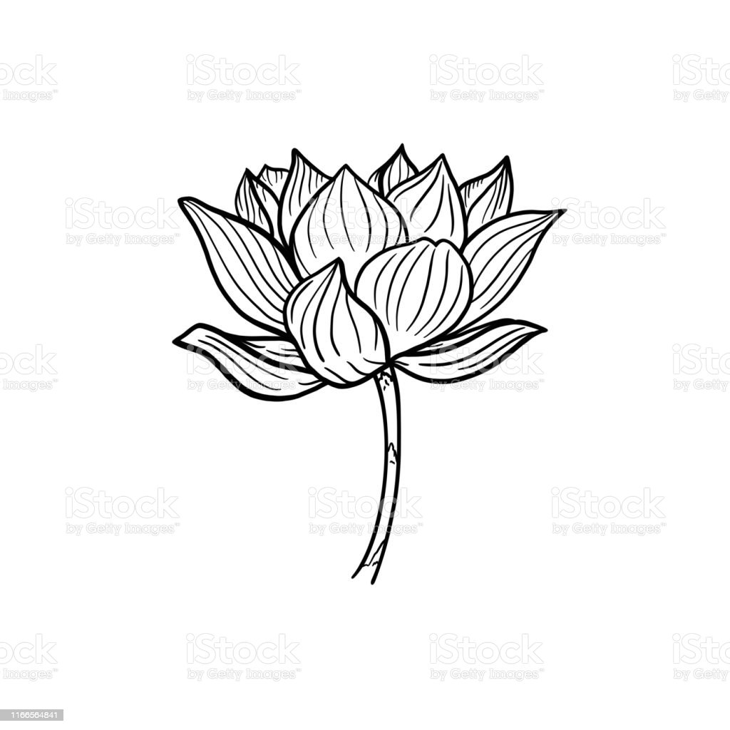 Lotus A Beautiful Opened Lotus Flower On A Stem Black And White