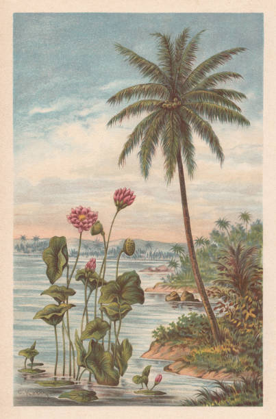 Lotus flower and coconut palm, chromolithograph, published in 1894 Lotus flower and coconut palm. Chromolithograph, published in 1894. lakeshore stock illustrations