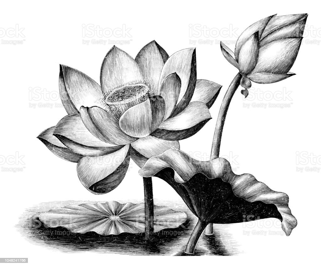 Lotus Flower Botanical Vintage Engraving Illustration Clip Art