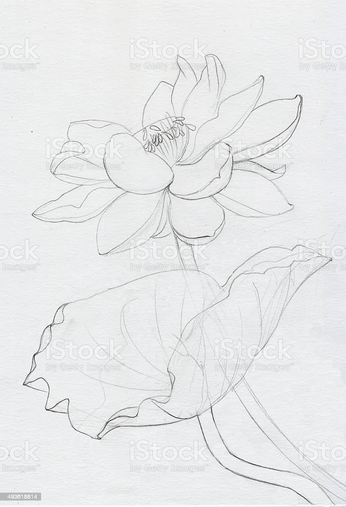 Line Art Lotus Flower : Lotus flower line art stock vector more images of