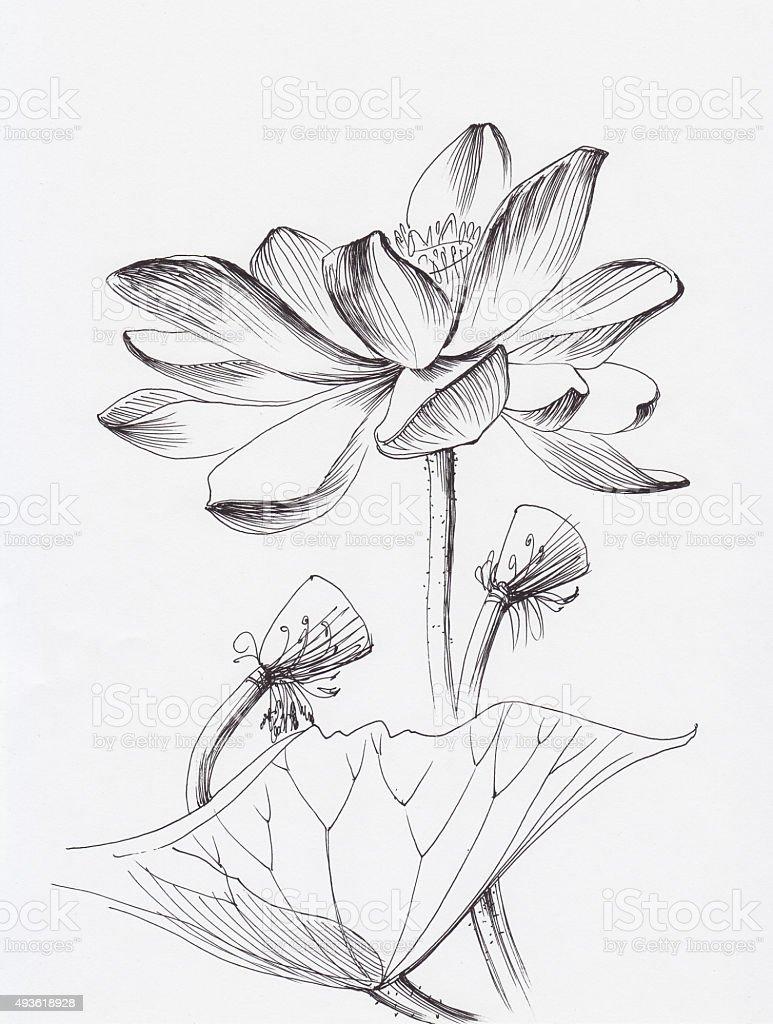Lotus Flower Line Art Stock Vector Art More Images Of 2015