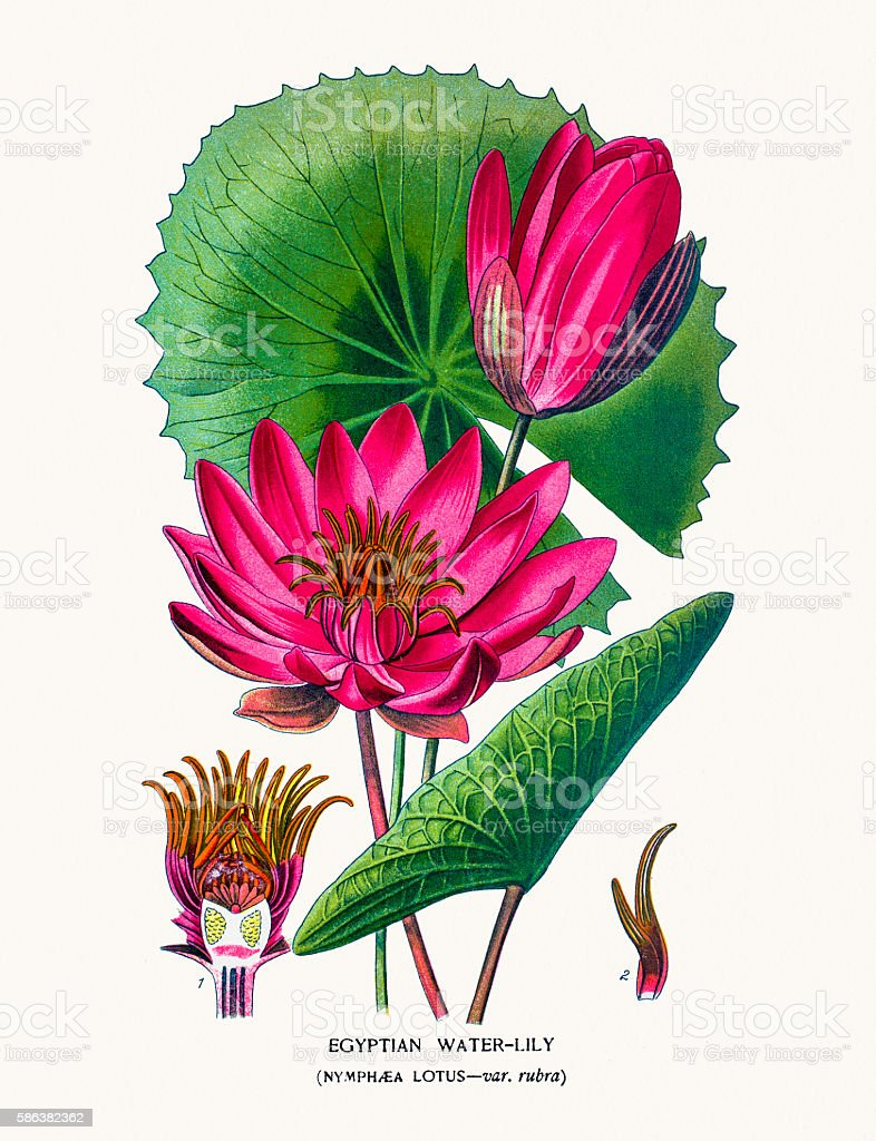 Lotus or egyptian water lily stock vector art more images of 19th lotus or egyptian water lily royalty free lotus or egyptian water lily stock vector art izmirmasajfo