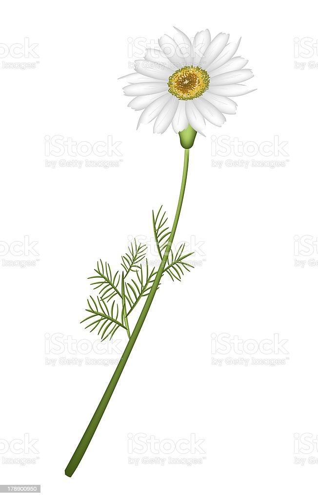 Lovely Fresh Chamomile Flower in White Background vector art illustration