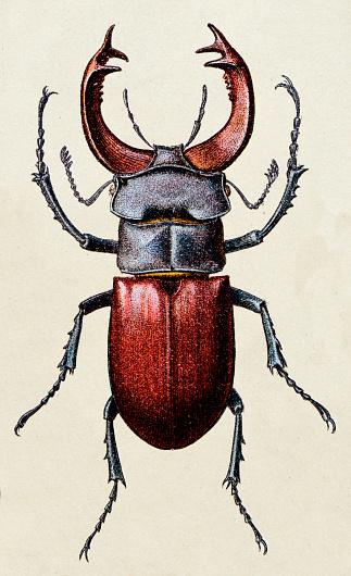 Lucanus cervus, insect animals antique illustration