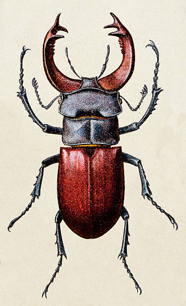Lucanus cervus, insect animals antique illustration Lucanus cervus, insect animals antique illustration beetle stock illustrations