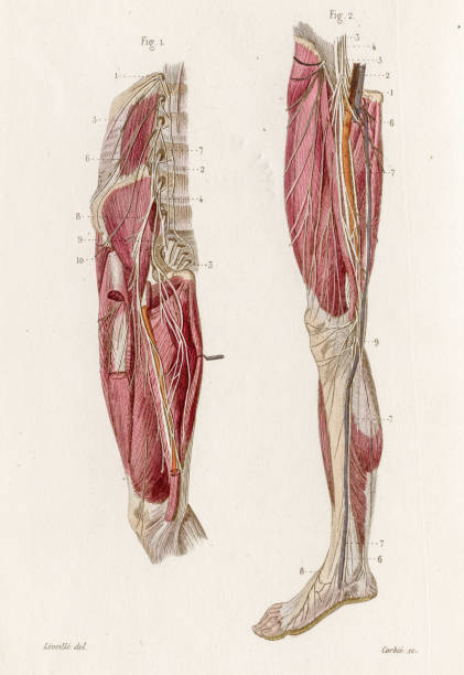 Lumbar plexus anatomy engraving 1886 A Text book of Naked Eye Anatomy sciatic nerve stock illustrations