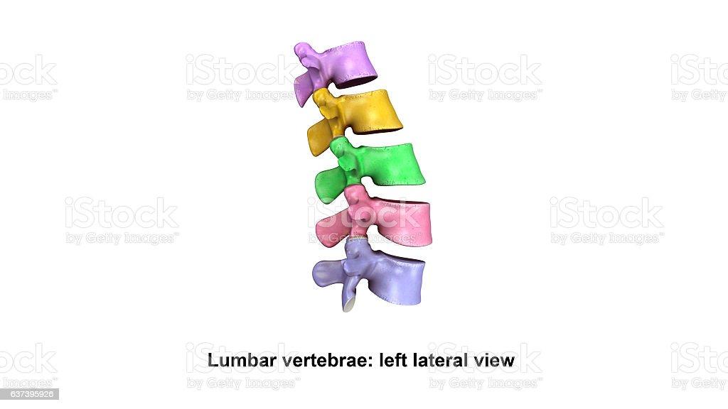 Ilustración de Lumbar Vertebraelateral View y más banco de imágenes ...