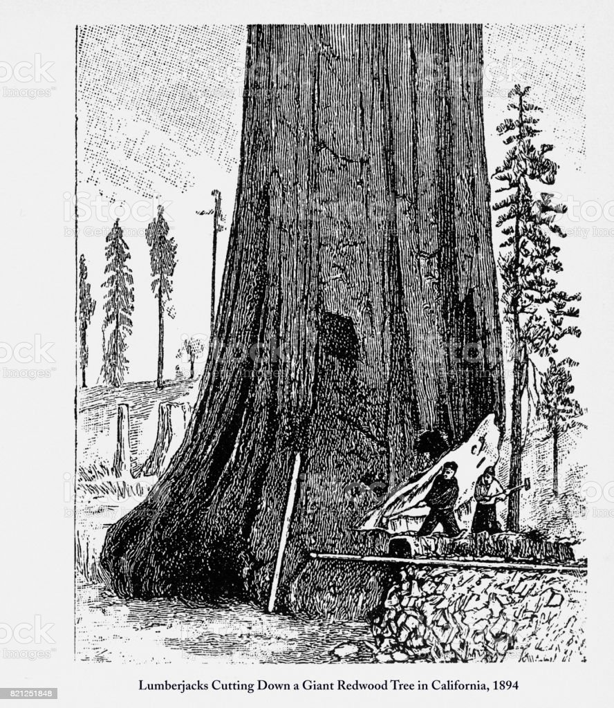 Lumberjacks Cutting Down A Giant Redwood Tree In