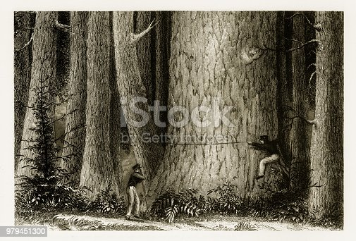 Beautifully Illustrated Antique Engraved Victorian Illustration of Lumberjacks Measuring a Giant Redwood Tree in California, 1893. Source: Original edition from my own archives. Copyright has expired on this artwork. Digitally restored.