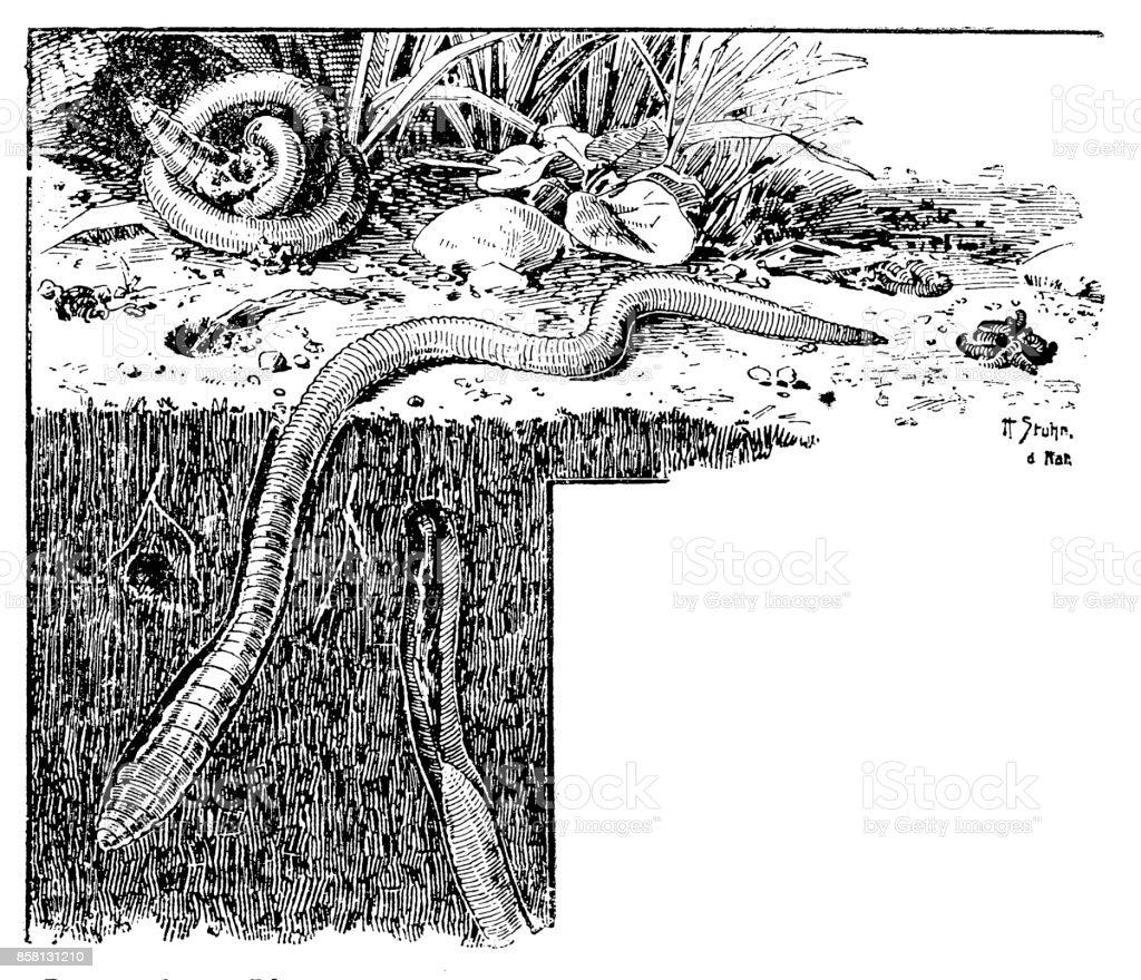 Lumbricus Terrestris Common Earthworm Or Lob Worm Stock Vector Art