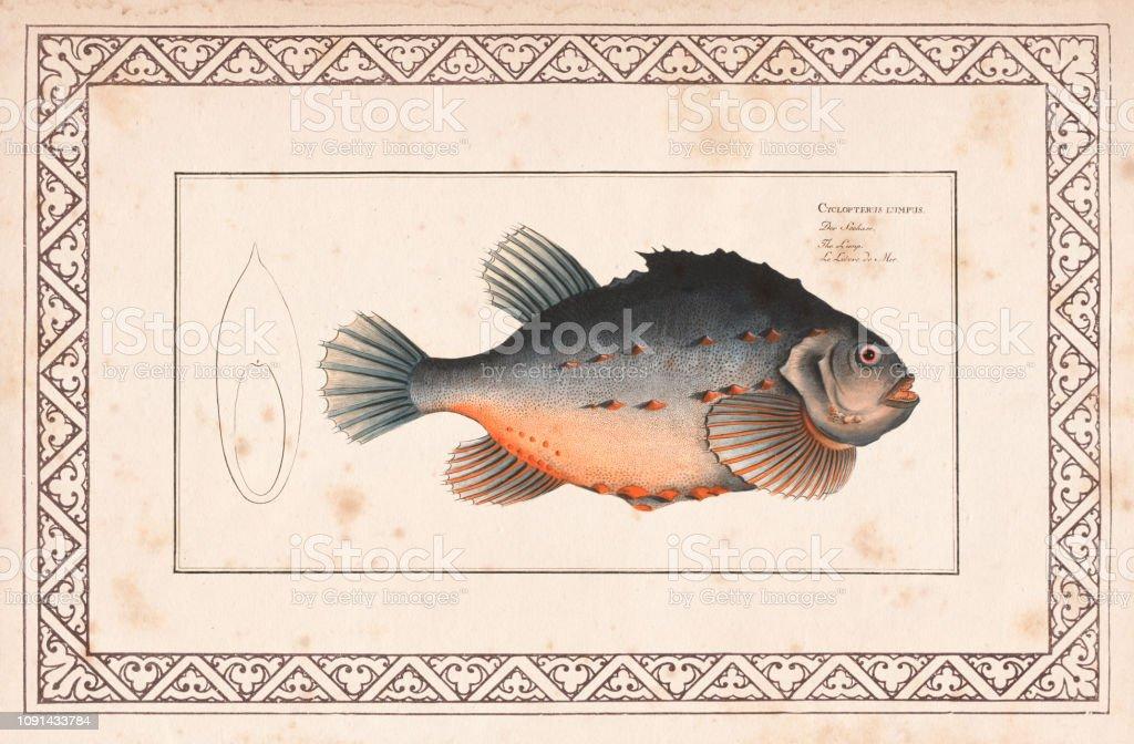 Lumpsucker oder Seehase Cyclopterus Lumpusfrom 1797 – Vektorgrafik