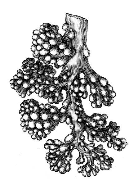Lung alveoli tree Antique illustration of a Lung alveoli tree alveolus stock illustrations