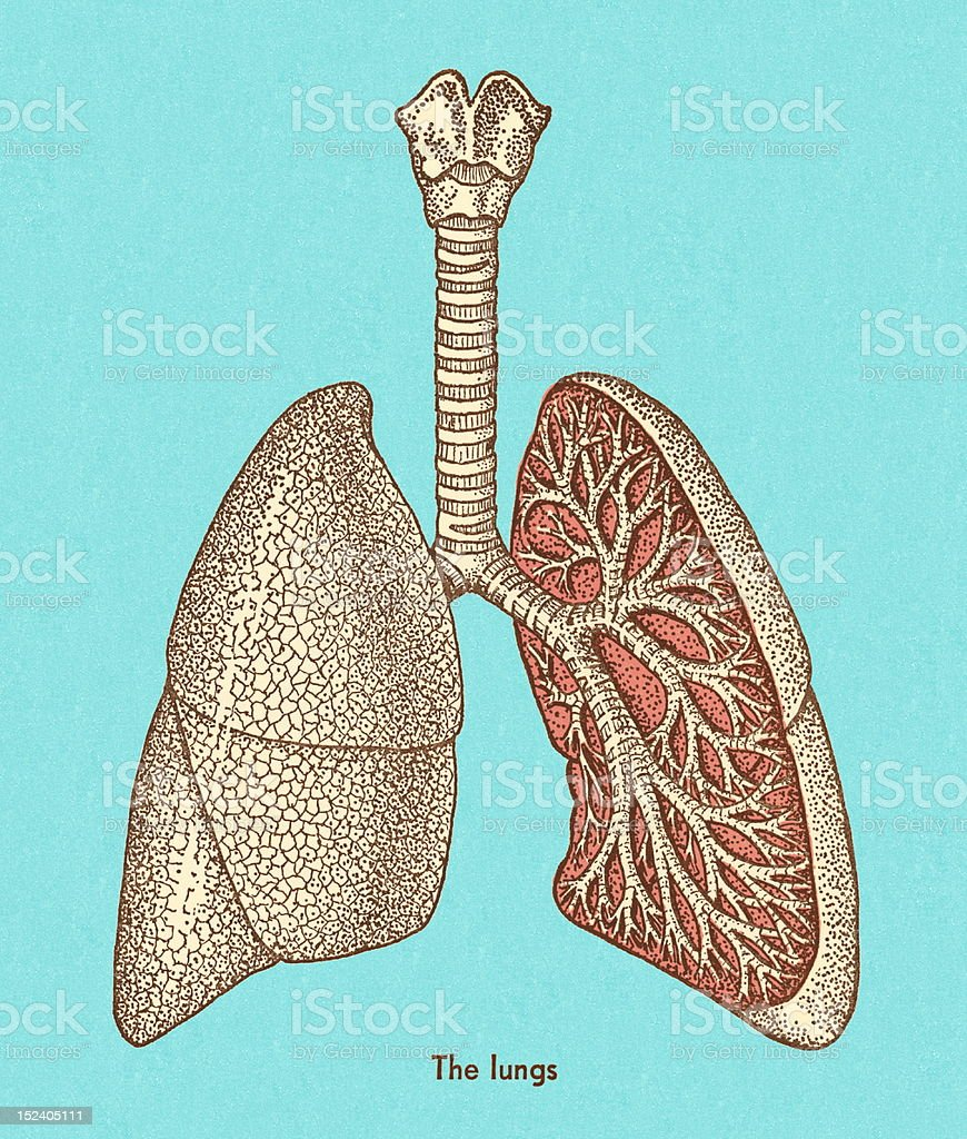 Lungs royalty-free lungs stock vector art & more images of anatomy
