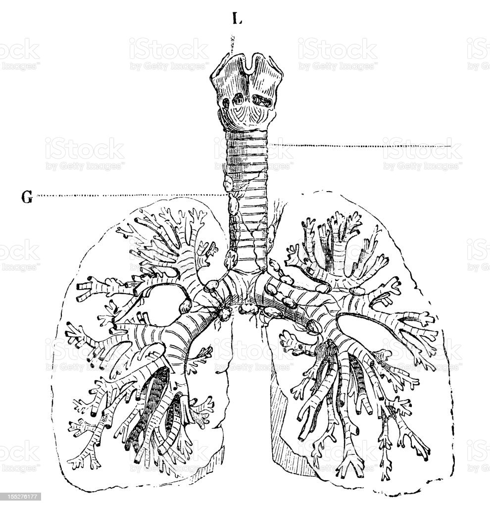 Lungs with bronchial tubes royalty-free lungs with bronchial tubes stock vector art & more images of 19th century style
