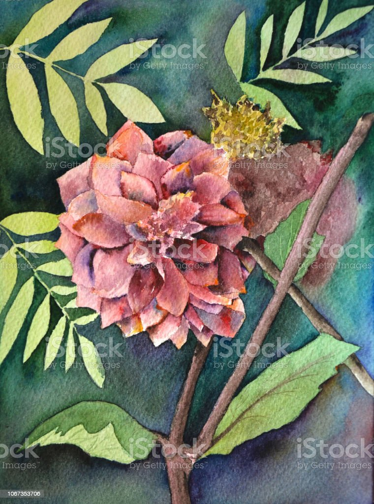 Luxurious Redpink Garden Dahlia Flower Painted In Watercolor Style Stock Illustration Download Image Now Istock