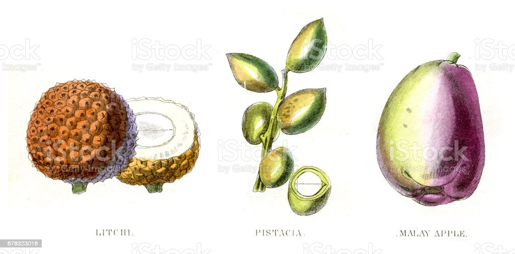 Lychee Pistachio fruit engraving 1857 vector art illustration