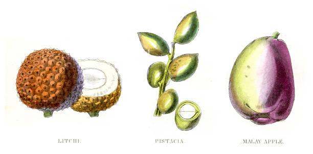 Lychee Pistachio fruit engraving 1857 vector art illustration